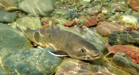 A Bull Trout swims in the Middle Fork of the Flathead River near Essex