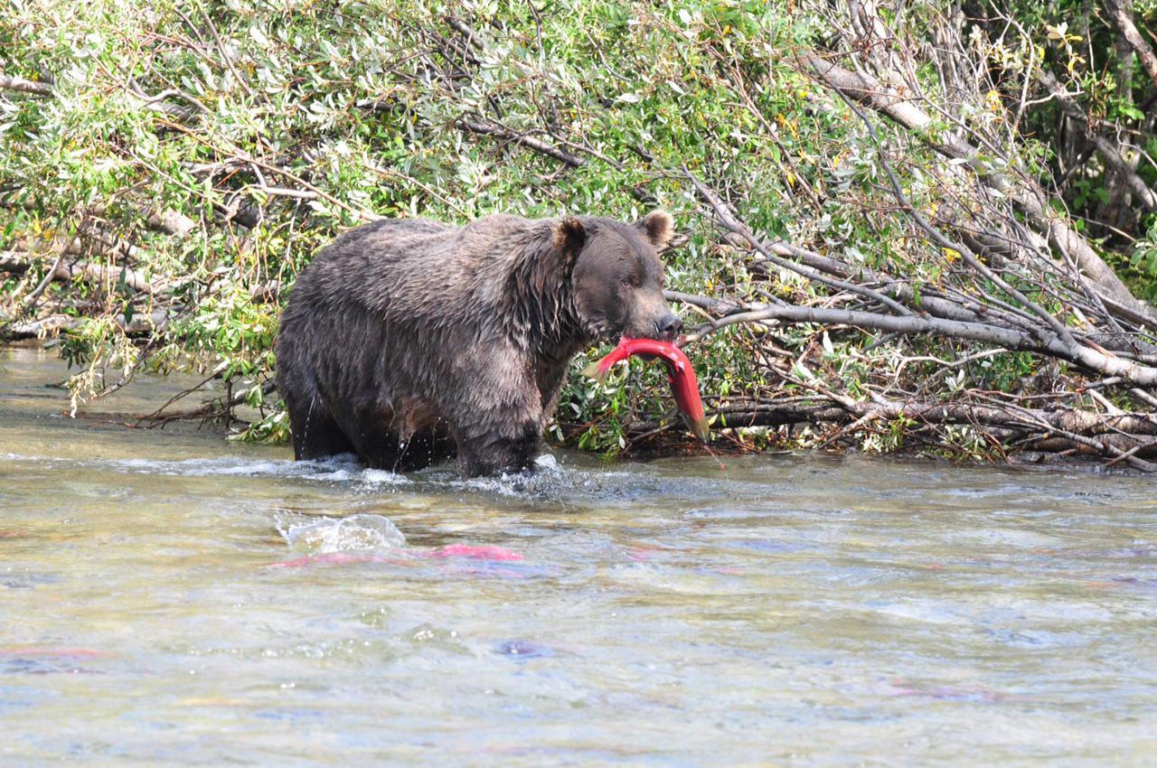 grizzly_salmoninmouth72